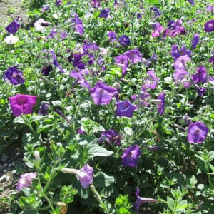 Petunia Perseverance