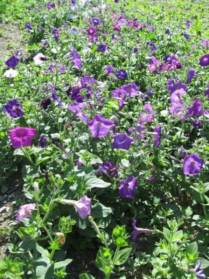Perseverance Petunia Flower Seeds
