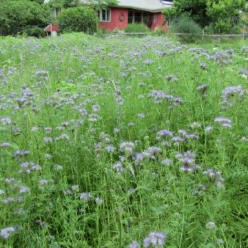 Phacelia Bee Plant Seeds