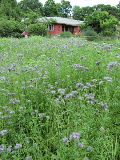 Phacelia Bee Plant Seeds