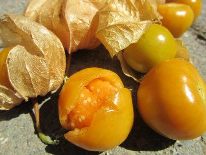 schoenbrunn gold physalis seeds
