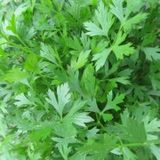 Plain Leafed Parsley
