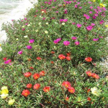 Portulaca Flower Seed Mix