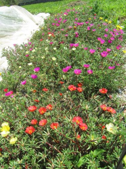 Portulaca Flower Seed Mix