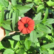 Red Peruvian zinnia