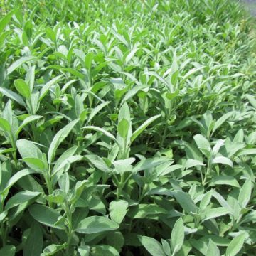 Sage Perennial Herb Seeds
