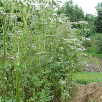 Valerian Preparation Herb Seeds