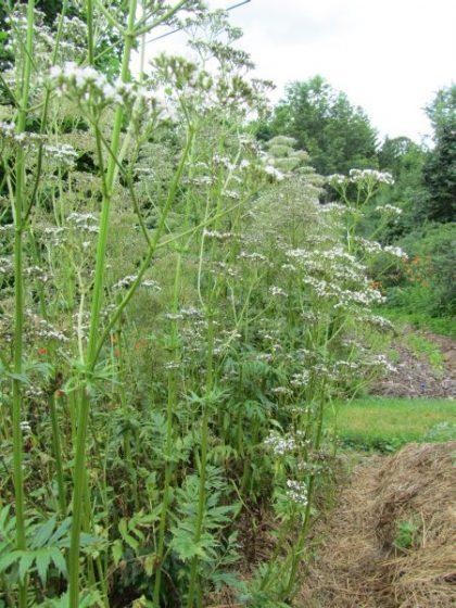 Valerian Preparation Herb Seeds