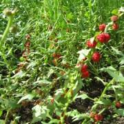 beet berry