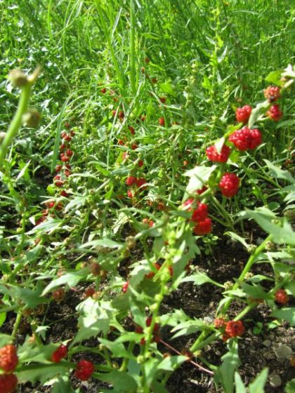 beet berry seeds