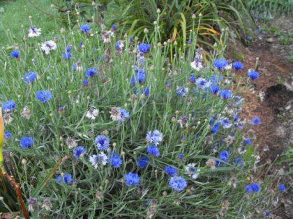 blue bachelors buttons seeds