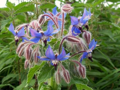 biodynamic borage flower seeds