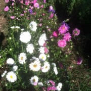 china double aster mix