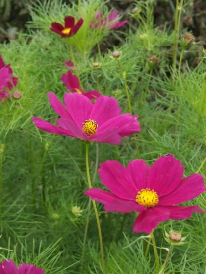 cosmos flower seed mix