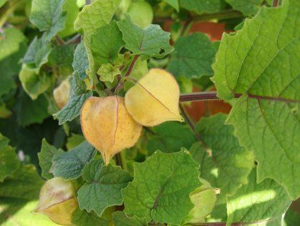 cossack pineapple groundcherry seeds