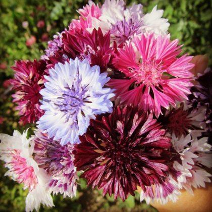 bachelors buttons courtin bouquet seeds