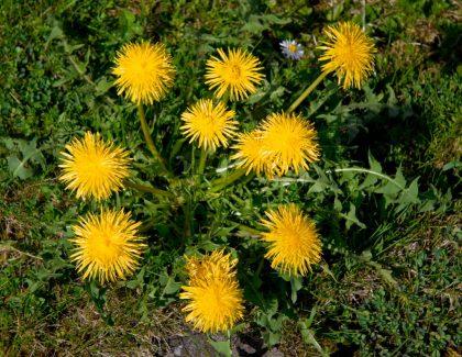 dandelion preparation herb seeds