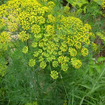 organic dill herb seeds