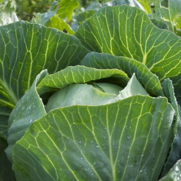 dottenfelder storage cabbage seeds