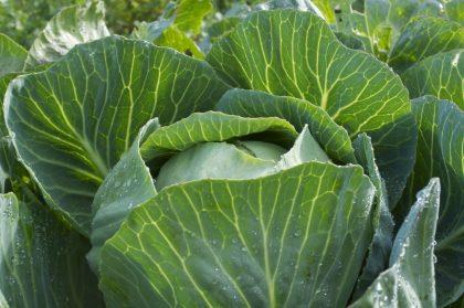 dottenfelder storage cabbage seeds