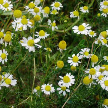 german chamomile flower seeds