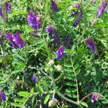 hairy vetch seeds