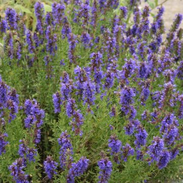 biodynamic hyssop seeds