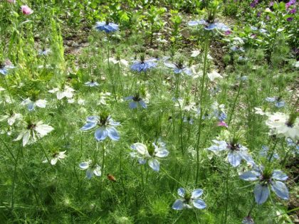 nigella flower seeds love-in-a-mist