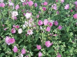 Mauritanian mallow hollyhock seeds
