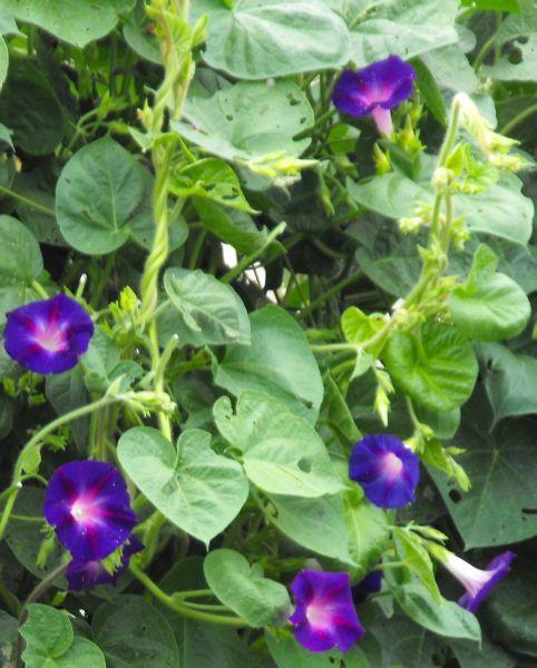 Morning Glory Flower Seeds 472 Turtle Tree Seed Initiative