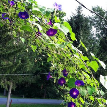 morning glory flower seeds