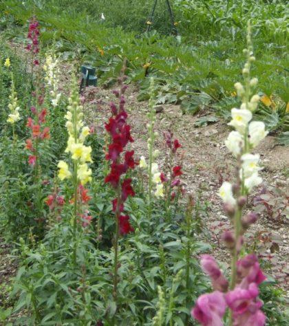 panorama snapdragon seed mix
