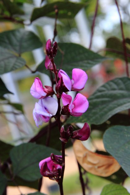 purple hyacinth bean seeds