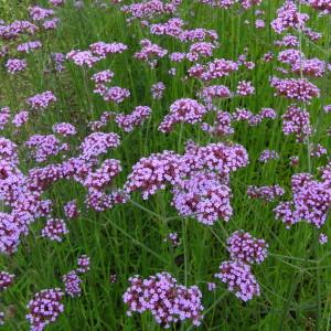Purpletop Vervain