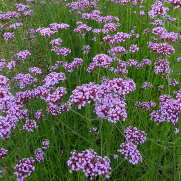 Purpletop Vervain Flower Seeds