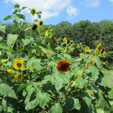 sunflower garden seed mix