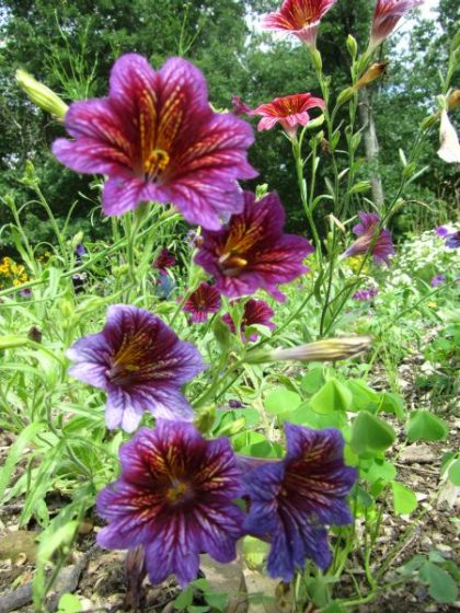 salpiglossis flower seeds