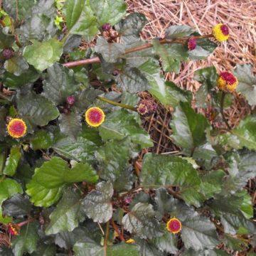 spilanthes herb seeds