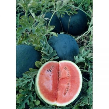 sugar baby watermelon seeds