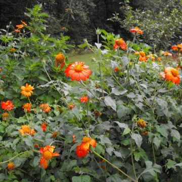 tithonia mexican sunflower seeds