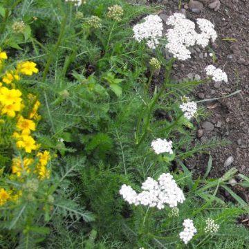 yarrow preparation herb seeds