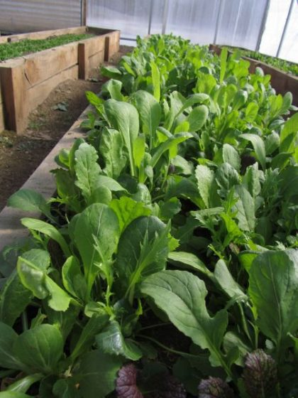 Asian Greens Seed Mix