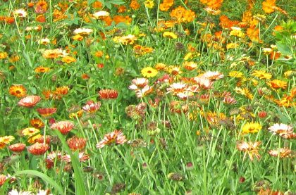 Biodynamic Calendula Seed Mix