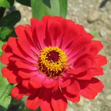 State Fair Zinnia Seeds