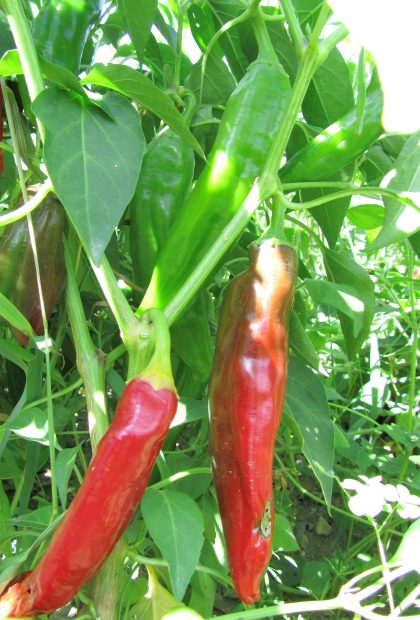 sweet paprika pepper seeds