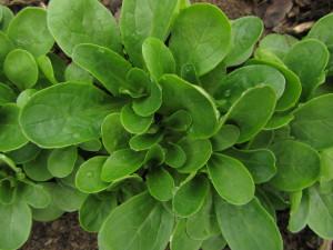 NY Hardy Corn Salad