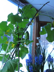 Cucumbers growing in a southwest facing window in February-- these were sown in early December. If you sow in February, they should be at this stage at the middle of April.