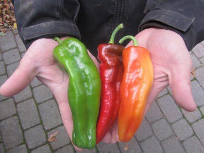 aconcagua sweet pepper seeds