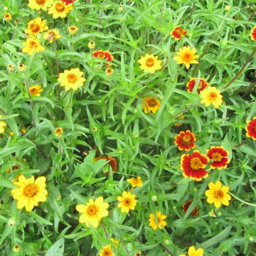 zinnia bush golden seed mix