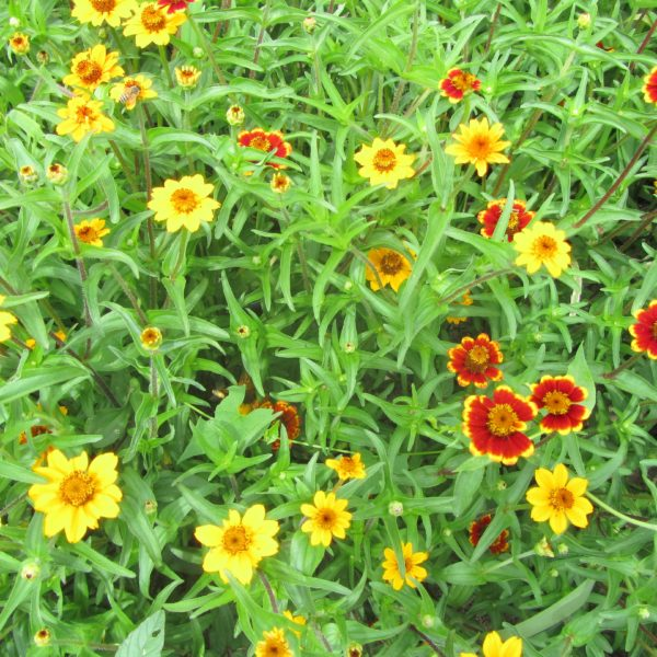 bush-zinnia-mix